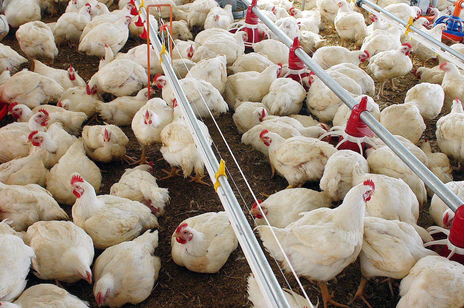 Resultado de imagem para imagens frangos brasileiro